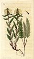 Pedicularis lapponica LLLL.jpg