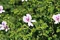 Pelargonium crispum 4zz.jpg