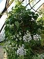 Pelargonium echinatum (BG Zurich)-04.JPG