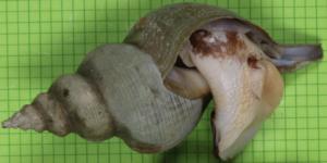 Caenogastropoda - A siphon whelk Penion cuvierianus jeakingsi.