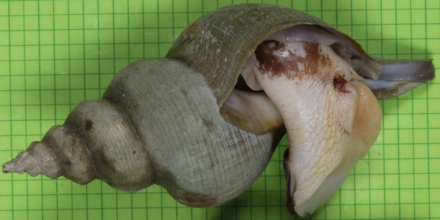 The siphon whelk Penion cuvierianus jeakingsi is a large, deep sea snail species endemic to New Zealand waters. Penion jeakingsi.png