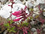 Penstemon newberryi 002.JPG