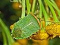 Pentatomidae - Nezara viridula f. torquata. torquata.JPG