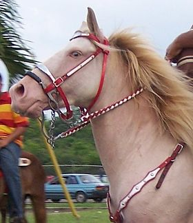 Perlino-colored-horse.jpg