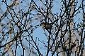 Perlita Azul-gris -Polioptila caerulea- Blue Gray Gnatcatcher - panoramio.jpg
