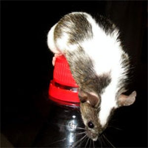 Fancy mouse - Fancy mice may be of colour and/or have markings not found in wild mice, such as this Mis-marked Dutch.