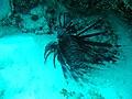 Pez Leon en Isla de Providencia Colombia *Amenaza Ecosistema local*1 - panoramio.jpg