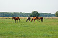 Pferde auf einer Weide 01.JPG