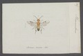 Phanerotoma - Print - Iconographia Zoologica - Special Collections University of Amsterdam - UBAINV0274 046 09 0005.tif
