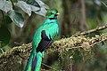 Pharomachrus mocinno Monteverde 07.jpg