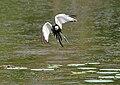 Pheasant-tailed Jacana (Hydrophasianus chirurgus) in Hyderabad W IMG 8433.jpg
