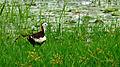 Pheasant-tailed Jacana - Pallikaranai Wetland.JPG