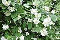 Philadelphus coronarius Sweet Mock Orange უცვეთელა.jpg
