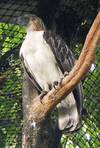 Águilas filipinas un ave curiosa