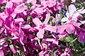 Phlox subulata Red Wing 3zz.jpg