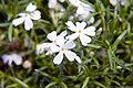 Phlox subulata White Delight 3zz.jpg