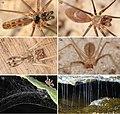 Pholcidae (10.3897-subtbiol.26.26430) Figures 11–16.jpg