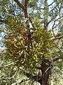 Phoradendron juniperinum kz01.jpg