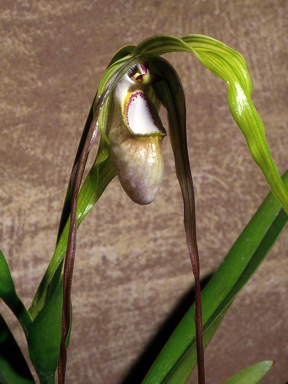 Phragmipedium warszewiczianum Orchi 02