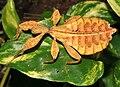 Phyllium bioculatum (George Robert Gray 1832).jpg