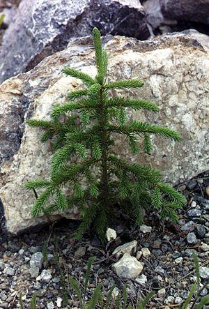 Spruce - P. glauca sapling, Kluane National Park, Canada