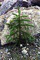 Picea glauca sapling Kluane NP.jpg