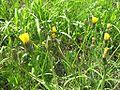 Picris hieracioides 1.jpg