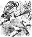 Picus leuconotus - Picus viridis - Friese.jpg