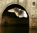 Pigeon framed by arch of Pulteney Bridge.jpg
