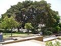PikiWiki Israel 8424 ficus tree in city garden.jpg