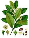 Pimenta dioica - Köhler–s Medizinal-Pflanzen-239.jpg