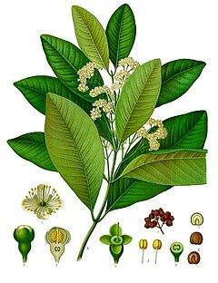 Folhas e frutos da Pimenta-da-Jamaica