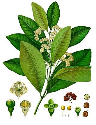 Allspice - Image: Pimenta dioica Köhler–s Medizinal Pflanzen 239