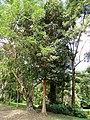 Pimenta racemosa - San Juan Botanical Garden - DSC07052.JPG
