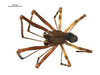 <i>Pimoa altioculata</i> Species of spider