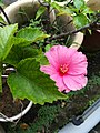 Pink hibiscus.!.jpg