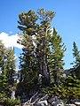 Pinus albicaulis (29105101912).jpg