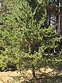 Pinus banksiana (Sochi -Russia).jpg