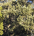 Pinus monophylla White - Inyo Range 2.jpg