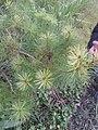 Pinus morrisonicola 27729854.jpg