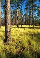 Pinus palustris USDAFS.jpg