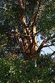 Pinus sylvestris (cultivated), Minsk 01.jpg