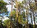 Pinus taeda Bastrop1.jpg
