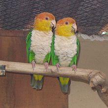 Pionites Leucogaster o Lorito Rubio 220px-Pionites_leucogaster_-Parque_de_las_Aves_-Foz_de_Iguazu-6a-4c