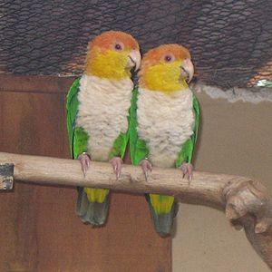 Green-thighed parrot - Image: Pionites leucogaster Parque de las Aves Foz de Iguazu 6a 4c