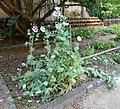 Pisa, orto botanico, orto del mirto, con piante officinali, 01 papavero.jpg