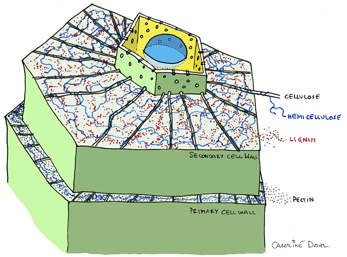 Secondary cell wall - Wikipedia