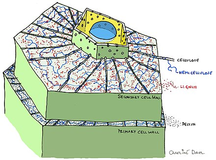 Secondary cell wall wikiwand plant cell overview showing secondary cell wall ccuart Choice Image
