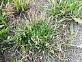 Plantago coronopus sl55.jpg