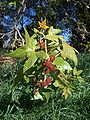 Platanus racemosa-6.jpg